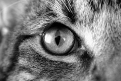 My Cat. (ZLP photography) Tags: house cute animal cat fur eyes tail fluffy ears fluff domestic cuddly housecat