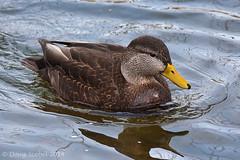 American Black Duck (Doug Scobel) Tags: american black duck anas rubripes waterfowl bird wildlife nature
