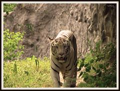 Royal Walk  ( I love those eyes ...) ( ) Tags: india white green wildlife tiger pune girish whitebengaltiger canons3is royalbengaltiger katrajzoo gg201007