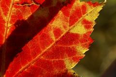 red (Jeff Epp) Tags: red ontario canada color colour macro water yellow closeup leaf drops seasons minolta 5d muskoka konicaminolta mywinners campcrossroads