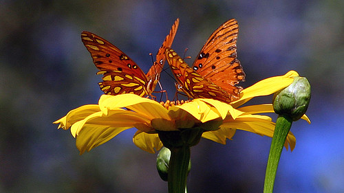 Butterflies on Giant Mexican Sunflowers