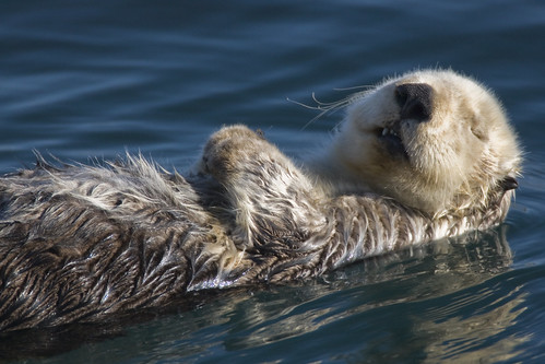 Adult Sea Otter (Enhydra lutris)  in Morro Bay, CA - This is one of my better photos