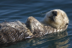 Adult Sea Otter (Enhydra lutris)  in Morro Bay, CA (by mikebaird)