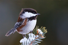 Snowy Chickadee (janruss) Tags: friends snow bird bravo 500v50f chickadee apex bec soe defenders avian birdwatcher themoulinrouge chestnutbackedchickadee naturesfinest poecilerufescens blueribbonwinner faveme simplythebest magicdonkey 100faves amazingtalent 50faves birdphoto 35faves specanimal wingedwonders animalkingdomelite abigfave shieldofexcellence goldmedalwinner platinumphoto impressedbeauty superaplus aplusphoto goldenphotographer favemegroup4 avianexcellence diamondclassphotographer flickrdiamond megashot empyreanflowers ilovemypic 75faves naturewatcher overtheexcellence platinumheartawards natureoutpost theperfectphotographer superperfectphotographer thegardenofzen goldwildlife theroadtoheaven thegoldendreams goldstaraward world100f exquisiteimage peopleschoiceplus natureselegantshots avision 100commentgroup colorphotoawardsilver colorphotoawardgold janruss goldendiamondblog bestofmywinners janinerussell artistoftheyearlevel3 artistoftheyearlevel4 artistoftheyearlevel5