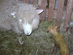 lamb 004