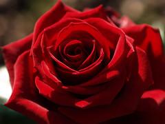Rose for you (arjuna_zbycho) Tags: roses flower rose austria österreich olympus gül blume baden rosas niederösterreich macrophoto زهرة kwiat rosae badenbeiwien e500 róża rosu róże rakousko makrofoto trandafiri trandafir doblhoffpark الورد roselovers superbmasterpiece excellentsflowers biosphaerenparkwienerwald gülsevenler