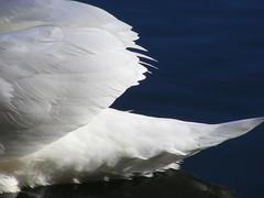 Natural Beauty. (stormlover2007) Tags: winter lake detail bird nature swan feathers blueribbonwinner impressedbeauty diamondclassphotographer flickrdiamond