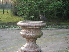 Blackbird on fountain (Queenbie) Tags: fountain birds aberdeen blackbird duthiepark