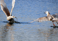 The Seagull and the Twig Part 2 (J Bespoy Photography) Tags: canada bc seagull burnaby soe deerlake naturesfinest fpc mywinners platinumphoto