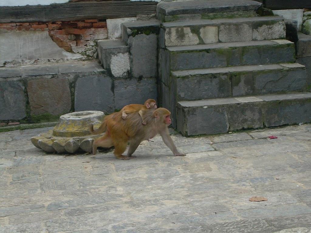 Un mono y su cría en el río Bagmati