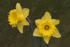 daffs (Leo Reynolds) Tags: flower cemetery canon eos flora iso400 daffodil f19 240mm 0ev canonef70300mmf456isusm 40d hpexif 0011sec leol30random grouputata cemeteryabneypark xratio32x xleol30x