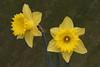 daffs (Leo Reynolds) Tags: cemetery cemeteryabneypark flower flora daffodil canonef70300mmf456isusm leol30random canon eos 40d 0011sec f19 iso400 240mm 0ev grouputata xleol30x hpexif xratio3x2x xx2008xx