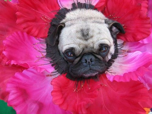 Pug Flower