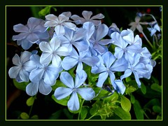 Plumbago auriculata 'Imperial Blue' (Blue/Cape Plumbago) in our tropical garden