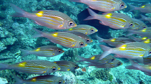 School of Striped large-eye bream at Similan Islands, Thailand