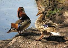 Who do you think YOU are? (langkawi) Tags: berlin ilovenature pair ducks langkawi mandarinduck enten tiergarten anasplatyrhynchos aix birdwatcher confrontation galericulata mallardduck naturesfinest fpc supershot naturewatcher