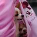チワワ:Chihuahua_15