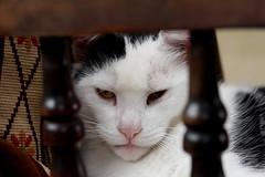 the cat that sleeps in the farmhouse (Leo Reynolds) Tags: pet animal museum fauna cat canon mammal eos iso400 f4 notmycat 0ev 95mm 40d hpexif 0017sec leol30random gressenhallfarmworkhouse xleol30x xratio3x2x xxx2008xxx