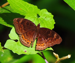 Junonia hedonia (Brown Soldier, Spotted Chocolate Soldier, Brown Pansy, Chocolate Argus, or Chocolate Soldier) (ID-A017) (Butterflies in Still Air) Tags: wedatengah malukuutara 印尼 id soldier chocolateargus brownsoldier spottedchocolatesoldier brownpansy chocolatesoldier chocolate brown pansy spotted argus junoniahedoniahellanis junonia hedonia hellanis junoniahedonia halmahera indonesia butterfly lepidoptera nymphalidae lcy2016 lcynsp lcyspid weda kobe