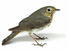 Swainson's Thrush (Furryscaly) Tags: brown white bird eye feet face animal closeup standing grey head wildlife side profile gray feathers tan aves whitebackground animalrescue northdakota nd urbanwildlife northamerica wildanimal perched highkey spotted resting winged sideprofile speckled animalia avian thrush songbird hikey feathered passeriformes fullbody turdidae passerine chordata perchingbird swainsonsthrush migratorybird catharus catharusustulatus burleighcounty taxonomy:order=passeriformes taxonomy:class=aves animalrehab taxonomy:kingdom=animalia taxonomy:phylum=chordata animalrehabilitation taxonomy:family=turdidae taxonomy:binomial=catharusustulatus taxonomy:genus=catharus taxonomy:common=swainsonsthrush emptybackground migrantthrushes olivebackedthrush custulatus