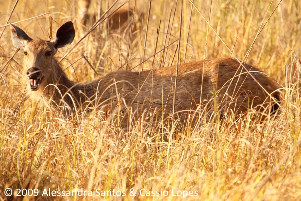 Sambhar Deer calling _MG_0714_F