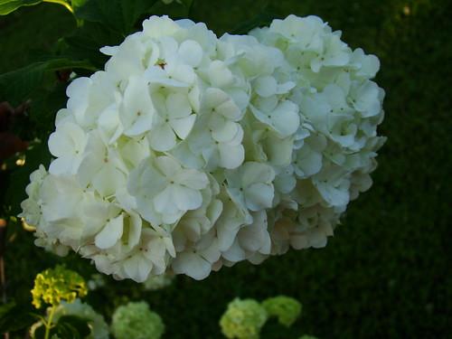 Snowball bush 4-25-09