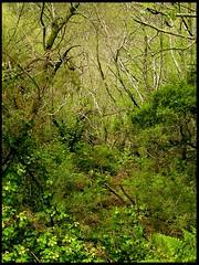 SELVA ASTURIANA (alegreyaudaz) Tags: selva asturiana alegreyaudaz ocidenteastur