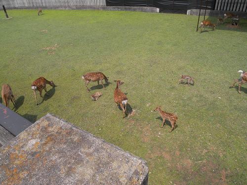母子鹿の特別公開@鹿苑角きり場-15