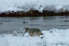 Stalking Coyote (cdglove2fish) Tags: winter scenery snowy wildlife steam rivers yellowstone streams topic winterwonderland gysers worldsbest impressedbeauty natureonitsbest yourbestshot eperkeaward avision