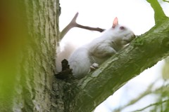 Albino Squirrel (Alastair Rae) Tags: england interestingness squirrel albino interestingness205 i500