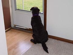 Lab Pup waiting by door