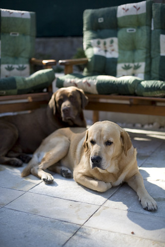 labrador retriever photos - Benny and Freki