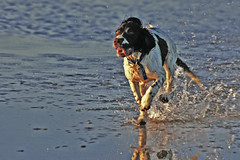 Delirious dog chases crow (headline news) (s0ulsurfing) Tags: blue light sea dog sunlight reflection beach water tongue speed wow fun freedom coast crazy intense focus funny bright shoreline free excited run coastal dash shore psycho chase deranged coastline spaniel springer springerspaniel splash mad thrill chasing 2007 delirious ryde obsessed focussed appley eow s0ulsurfing aplusphoto coastuk gratitude90