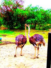 */25/31 - VILLA DE LEYVA- BOYACA, COLOMBIA 2007 (IMAGEN09) Tags: colombia ostrich avestruz villadeleyva boyaca