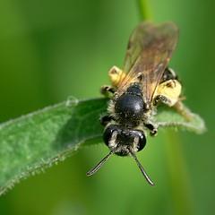 draycote meadows 03062007-01 (Walwyn) Tags: insect bee warwickshire hymenoptera andrena walwyn draycotemeadows profmoriartydotcom:book=856