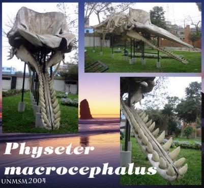Physeter macrocephalus