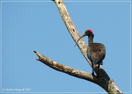 K-Black Ibis