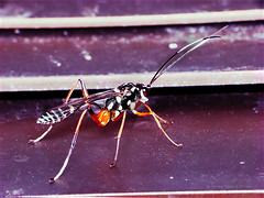 Wasp - a male ichneumon wasp thanks to Martin Labar and Bug Eric for ID !!! (HoleePhotos) Tags: wasp insectcloseup canons3is beautifulbug