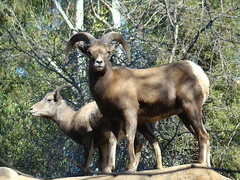 Bighorn Sheep at the Los Angeles Zoo