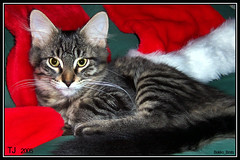 TJ's first Christmas (BakkoBrats) Tags: christmas red male green cat kitten feline tabby tj santahats 4monthsold 20051028 blacktabby mainecoonish bestofcats impressedbeauty