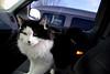 Curious (Bulldog47%,,rotisserie gerbil) Tags: cats pets piratetreasure d80 bulldog65 piratetreasure2