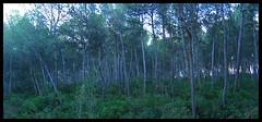 Darmos Forest ( PILRELLA ) Tags: trees winter camp forest spain arboles catalonia arbres bosque mysterious invierno catalunya catalua bosc hivern misterios baix tonalidades tonalitats darmos