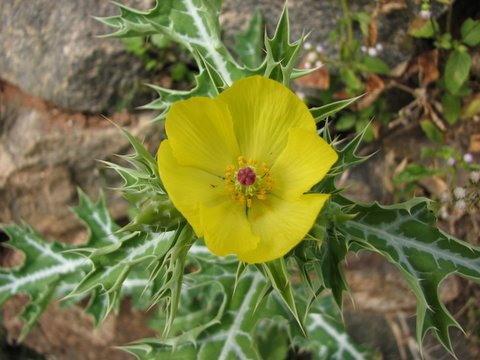 spiny wildflower b r temple area
