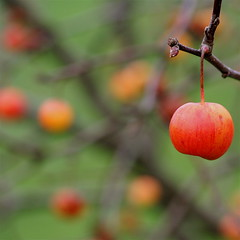 Crab apple a cappella  (cattycamehome) Tags: winter red music orange colour macro tree green apple nature yellow tag3 taggedout fruit hearts bush bravo tag2 december branch tag1 bright bokeh quote listening acappella crabapple catherineingram  xoxoxoxox  abigfave cattycamehome january2008 diamondclassphotographer minnieaumonier loveandkissesdarling