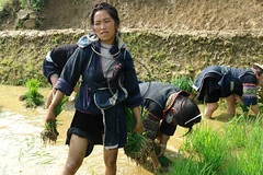 Hmong woman rice planting (NaPix -- (Time out)) Tags: asia southeastasia vietnam ricepaddies sapa hmong minorities hmoob riceplanting ricefarming blackhmongsapavietnam napix ricecrisis