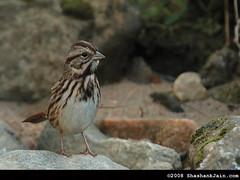 Song Sparrow (The World Through My Eye) Tags: atlanta georgia songsparrow melospizamelodia naturesfinest canon30d canon400mmf4isdousm