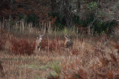 kissimmee prairie state park 1-12-08 105