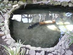 Enormous eel! (NatBat) Tags: newzealand electriceel electrophoruselectricus wlny:trip=t6s wlny:place=p4 wlny:photo=i15w wlny:species=sky wlny:geotagged=1