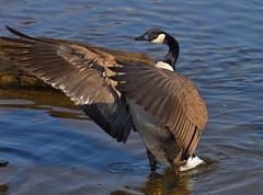 Canada goose ( Branta canadensis ) (jeslu) Tags: bc burnaby canadagoose brantacanadensis nikon70300mmgvr