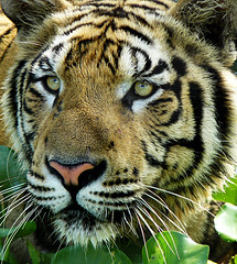 Sumatran Tiger ; i want to see you closer (tropicaLiving - Jessy Eykendorp) Tags: park wild bali nature animal closeup fauna sumatra indonesia geotagged photography zoo asia wildlife tiger panoramic beast wildanimal endangered sumatrantiger bathing sumatran naturesfinest gianyar platinumphoto anawesomeshot diamondclassphotographer flickrdiamond tropicaliving sumatrantigerbathing balisafarypark sumatrantigeriwanttoseeyoucloser tropicalivingtropicallivingtropicalliving panasoniclumixdmcfz8panasoniclumixdmcfz8 jessyce geo:lon=115157318 geo:lat=8817225